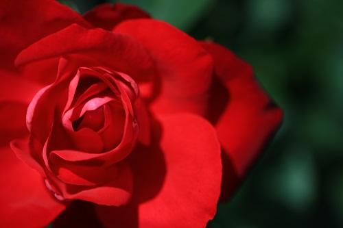薔薇の下で男同士が契りを結ぶ.JPG
