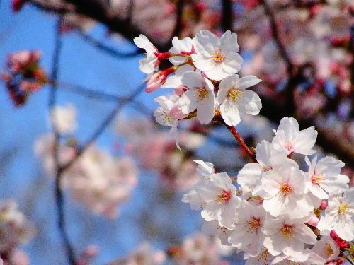 咲いてるサクラ.JPG