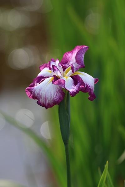 2 白紫.JPG