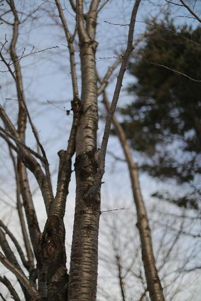 春を待つ木.JPG